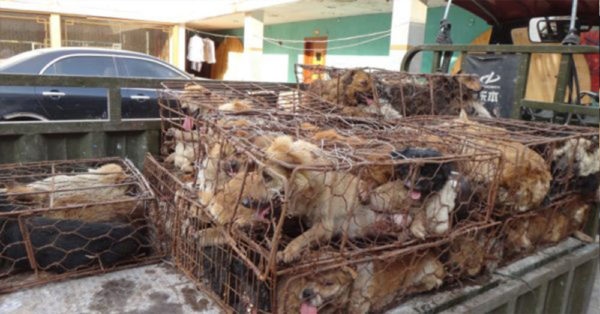 Source: Humane Society International Dogs are stuffed in cages in the meat trade in Yulin, China.