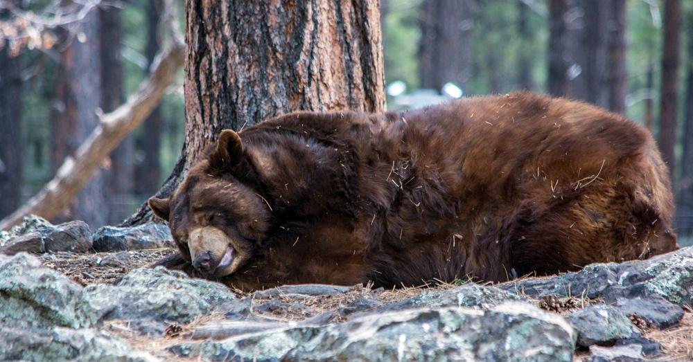 Bear1_1000x523