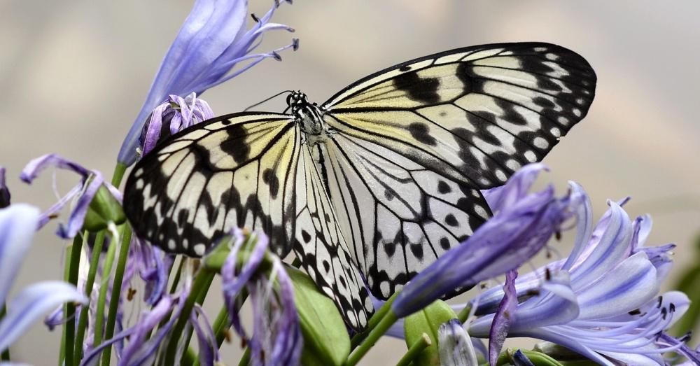Butterfly1_1000x523