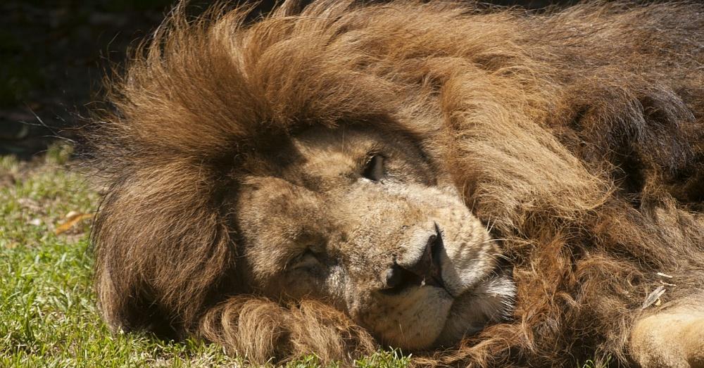 Lion1_1000x523