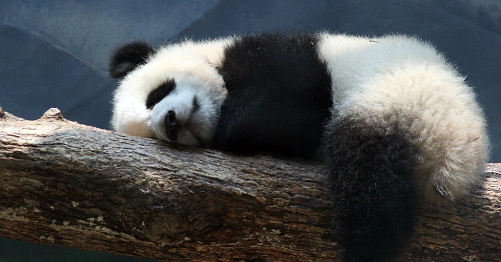 Panda1_1000x523