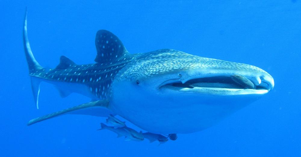 WhaleShark1_1000x523