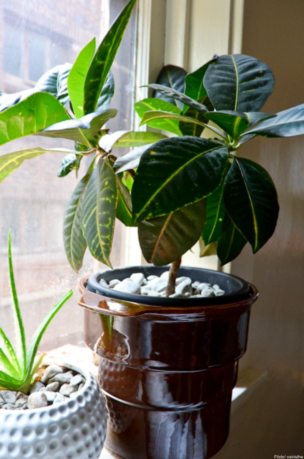 croton houseplant