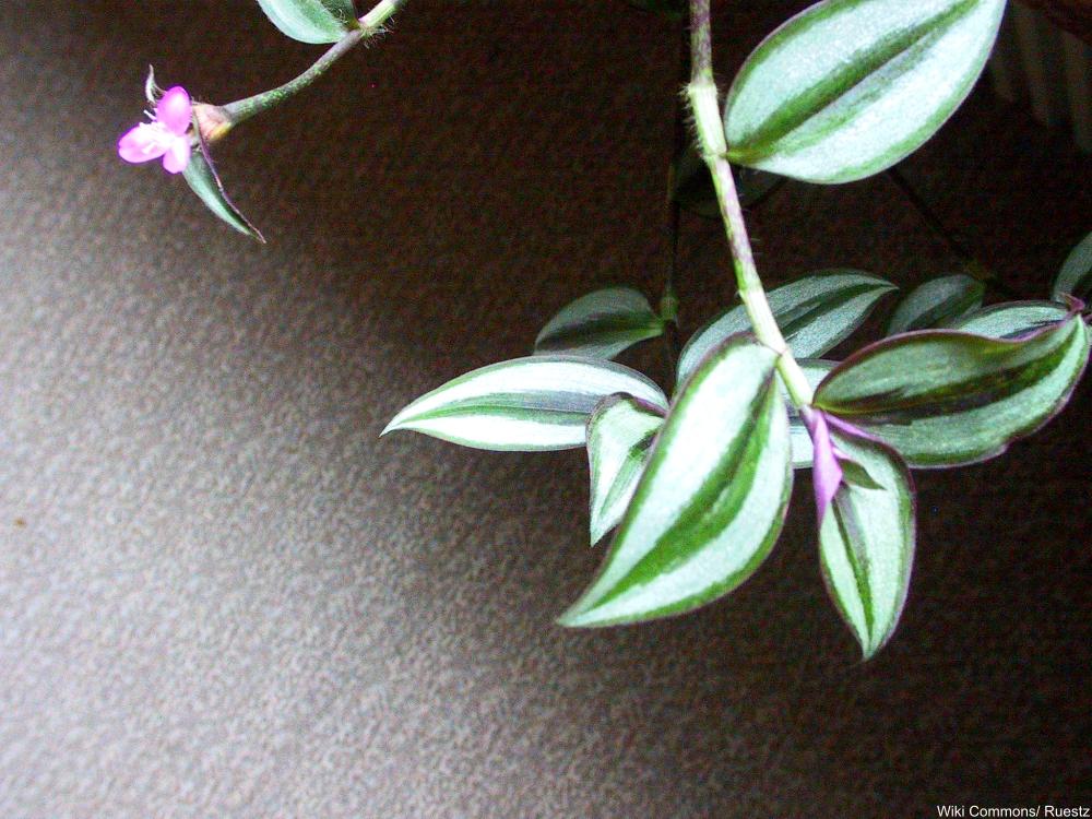Zebrina pendula plant