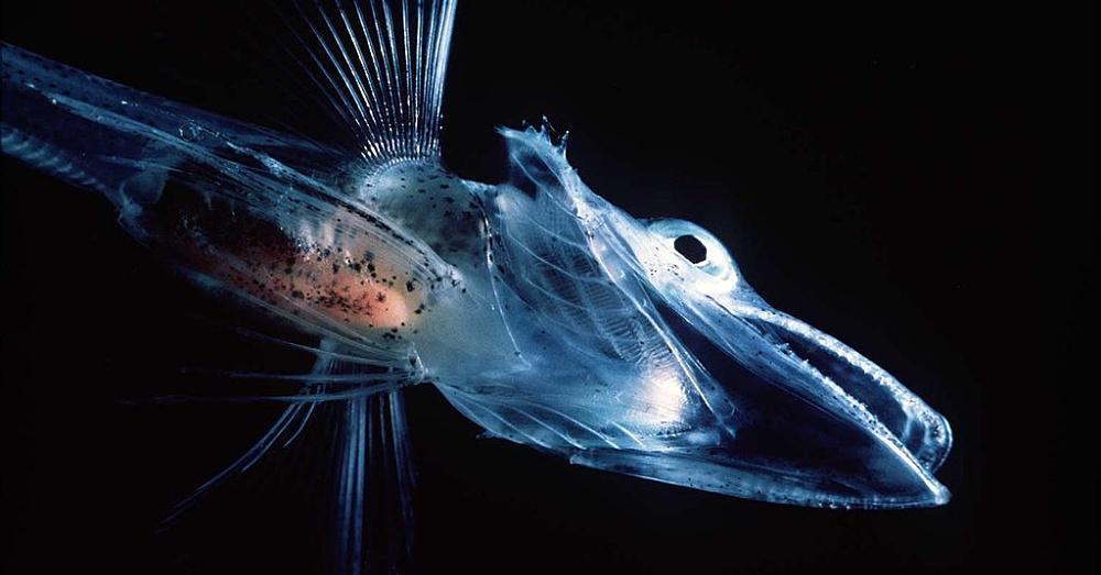 IceFish1_1000x523