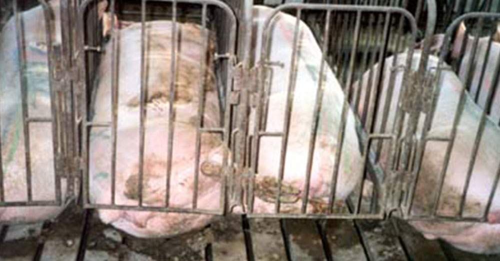 Source:  Wikimedia Commons Sows are often confined in gestation crates, which usually does not allow the pig to turn around or lay down comfortably.
