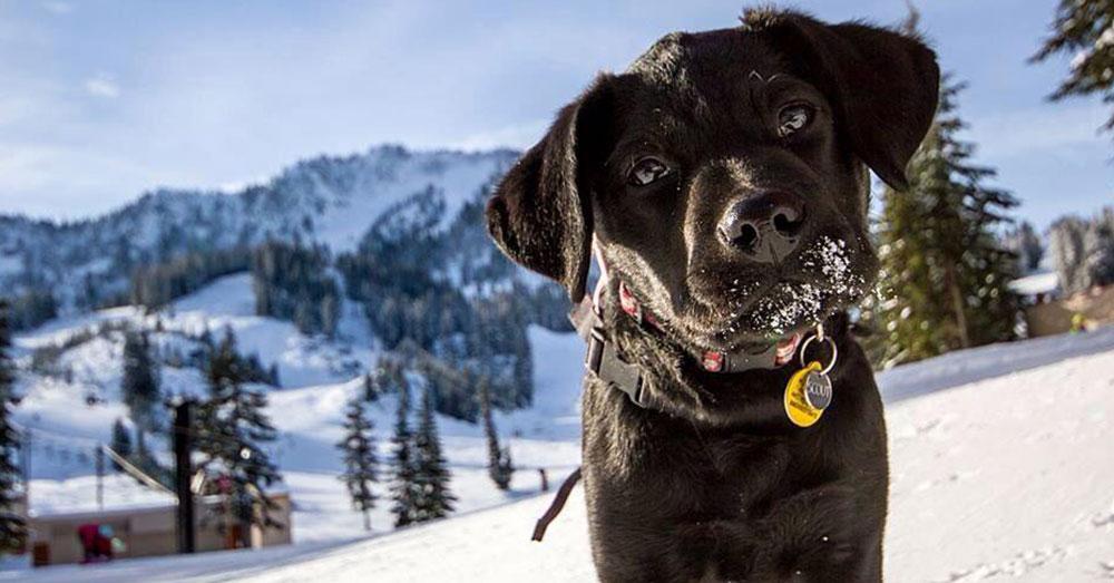 Source: Twitter/@BVuorskiA Stevens Pass Avalanche Rescue Dog.