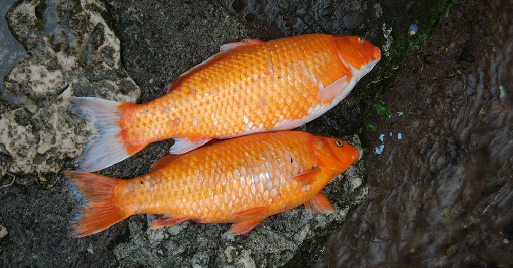 Source: MaxPixel A couple of carp.