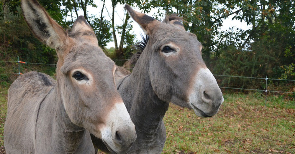 Source: Pixabay A donkey hide can sell for as much as $460 today.