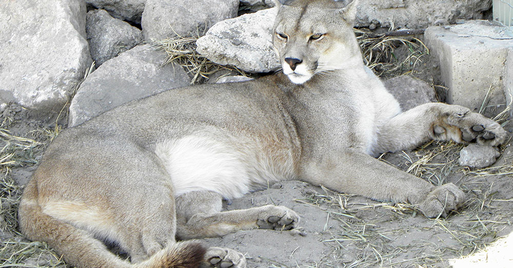 Source: Wikimedia Commons Pumas can also be found in the southwest United States and Mexico.