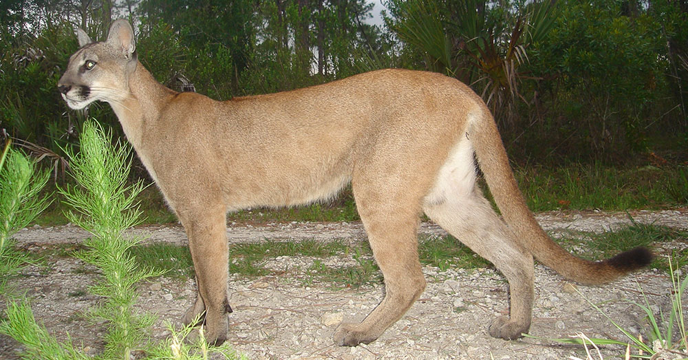Source: Wikimedia Commons The Florida panther, also an endangered subspecies population of the cougar.