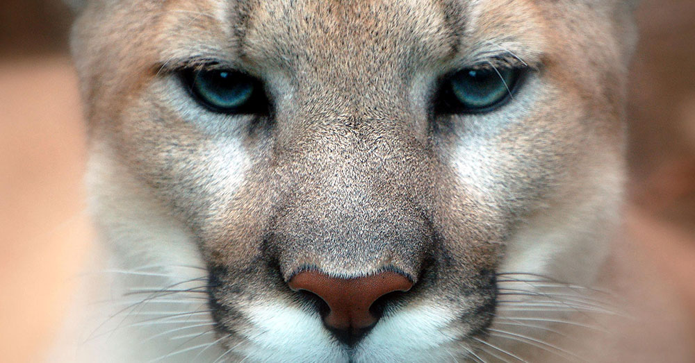 Source:  Wikimedia Commons Cougars, pumas, and mountain lions are prevalent in other parts of North America, but the particular species that lived east of the Mississippi River has died out.