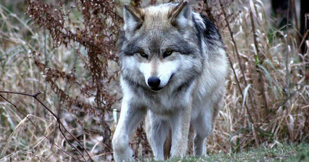 Source: Pexels A Gray Wolf.