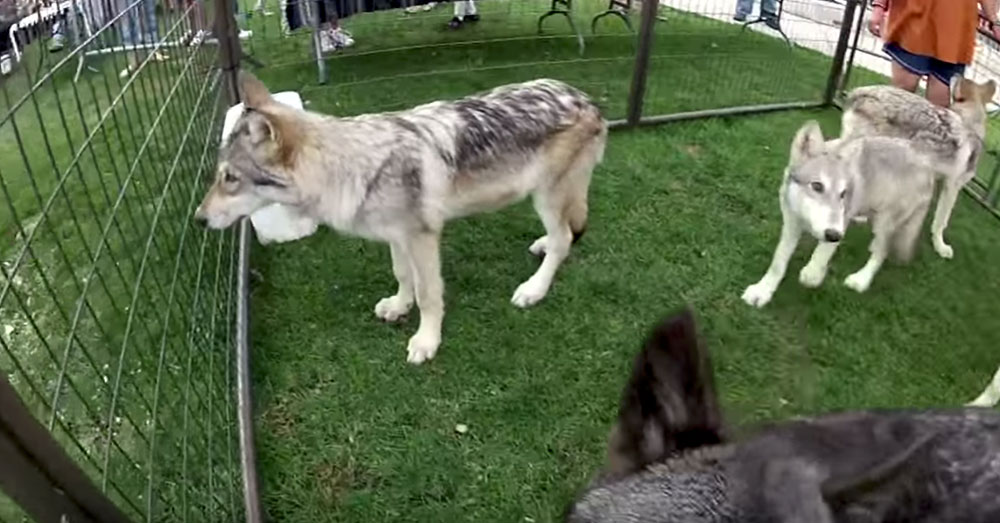 Source: YouTube/Elko Speedway Gray wolves in the Fur-Ever Wil;d exhibit.