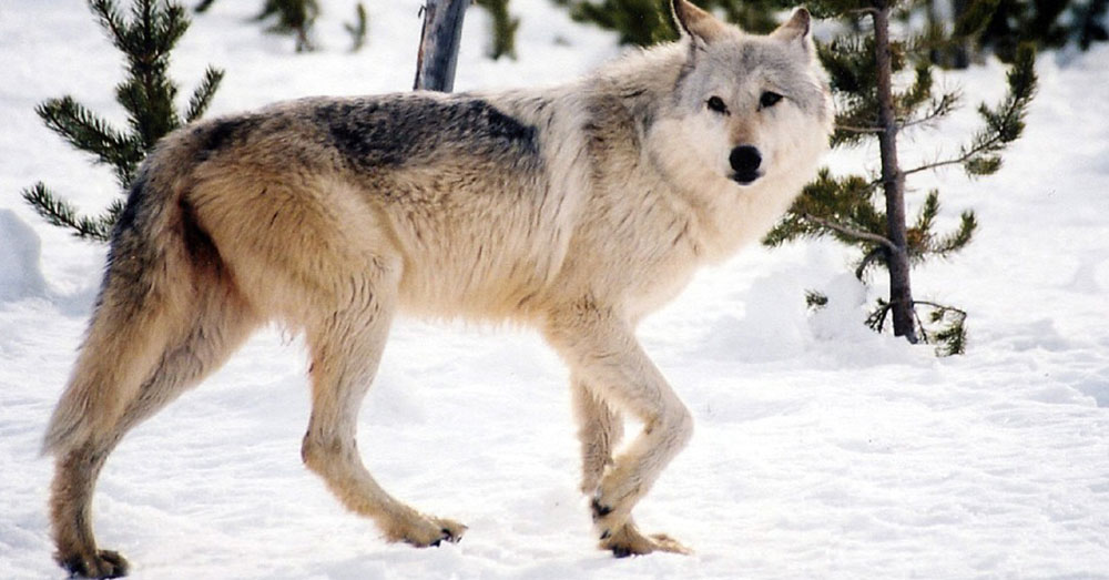 Source: Pixabay A Gray Wolf.