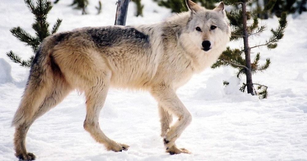 Source: Pixabay A Gray Wolf.