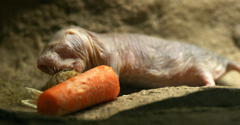 The naked mole rat is a hideous and weird looking animal
