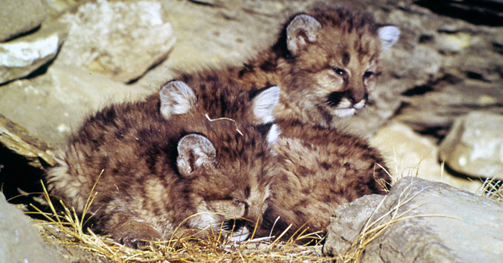 Source: Wikimedia Commons Baby cougars.