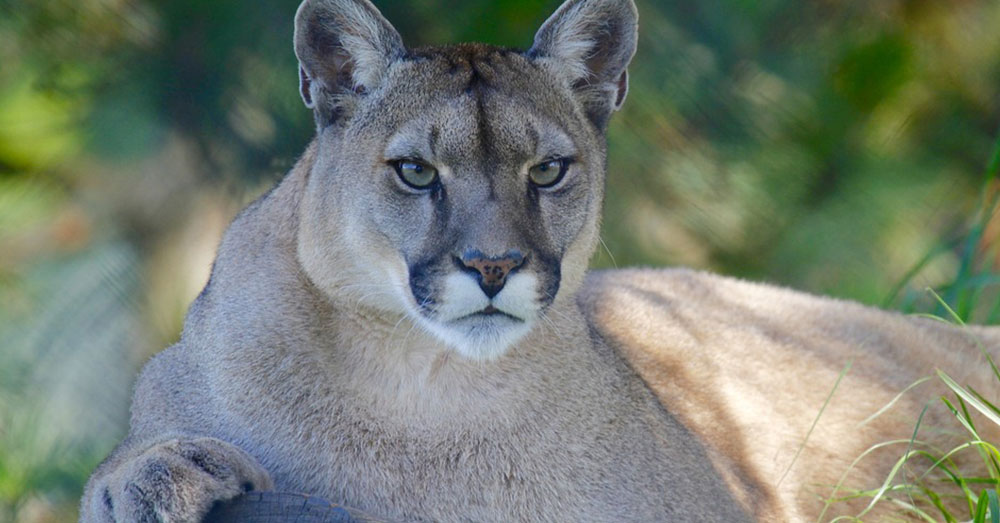 Source: Pixabay Mountain lions are dwindling in Southern California.