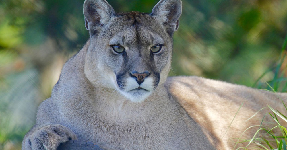 Mountain lions are native to southern and central California.