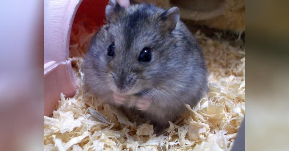 Hamster2_1000x523
