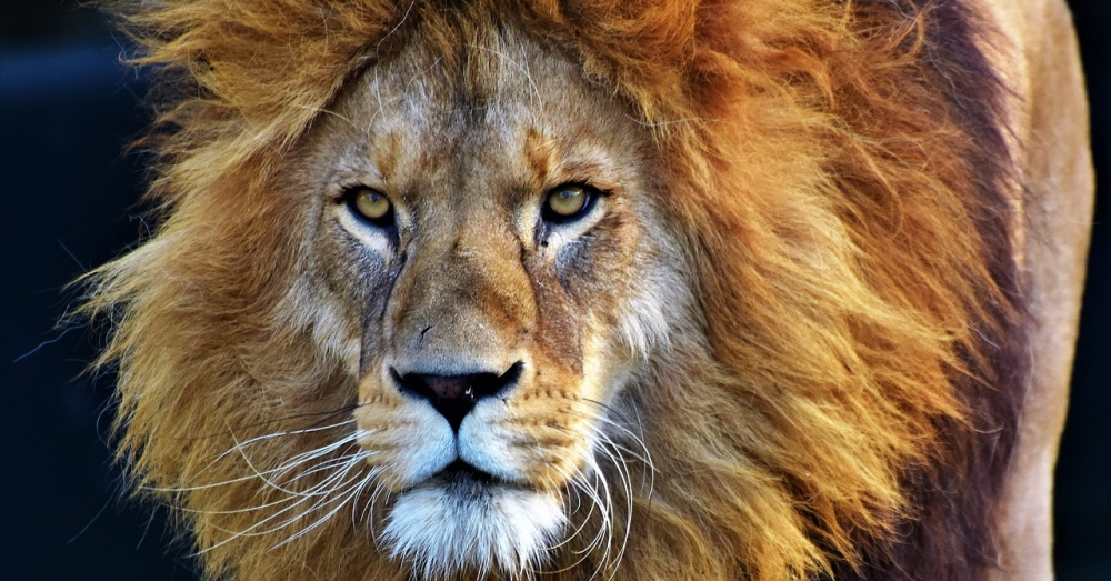 Lion Large Mane