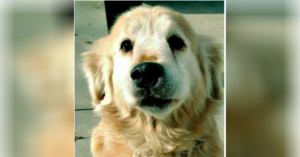 25 Golden Retrievers That Need A Home Now | The Animal Rescue Site Blog
