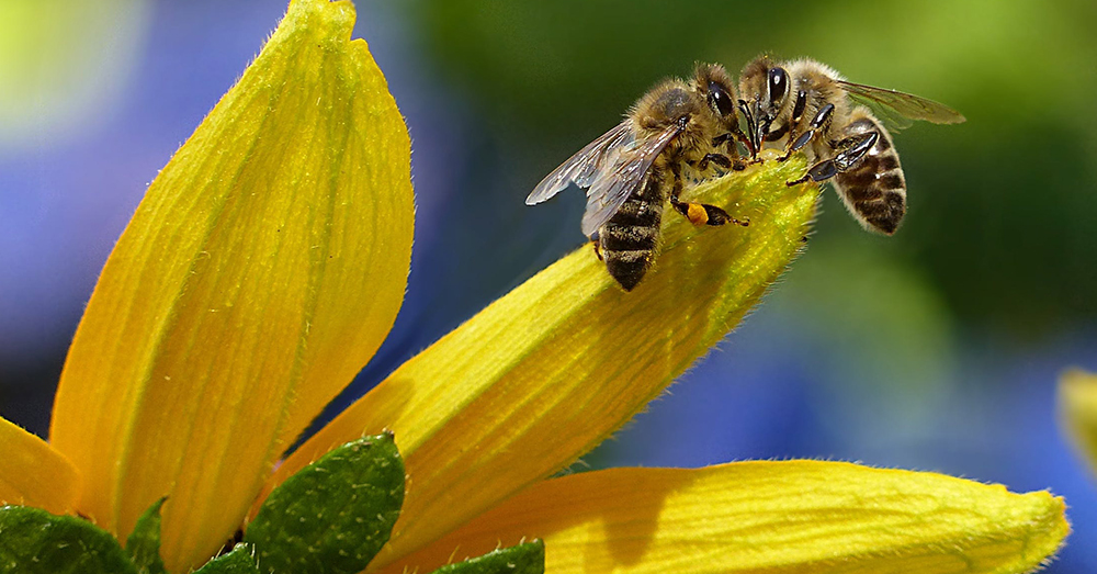 Source: Pexels Honeybees around the world are dying out.