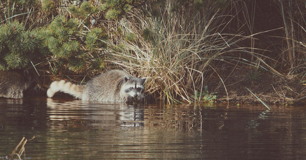 Source: Pexels Raccoons in the wild find most of their food in the water.