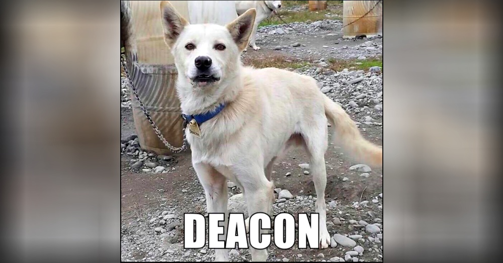Deacon died during Iditarod 2017 race.  Photo:Facebook/Humane Mushing