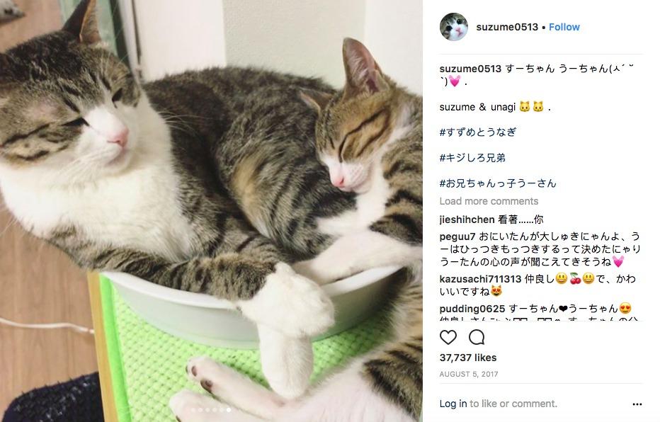 I gatti gemelli Suzume and Unagi