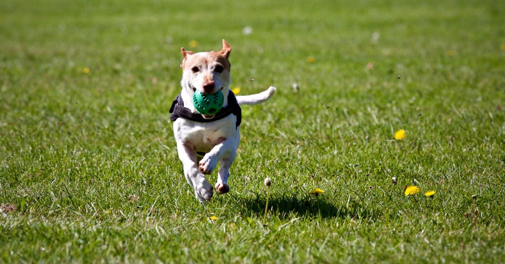 Dog running with ball in grass