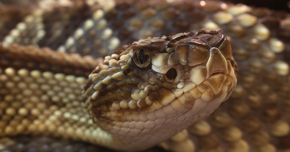 Source: Wikimedia Commons The South American rattlesnake, also known as the neotropical rattlesnake.