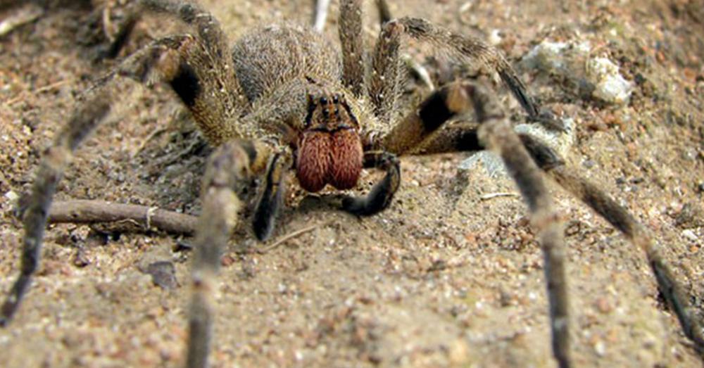 Source: Wikimedia Commons Brazilian Wandering Spider