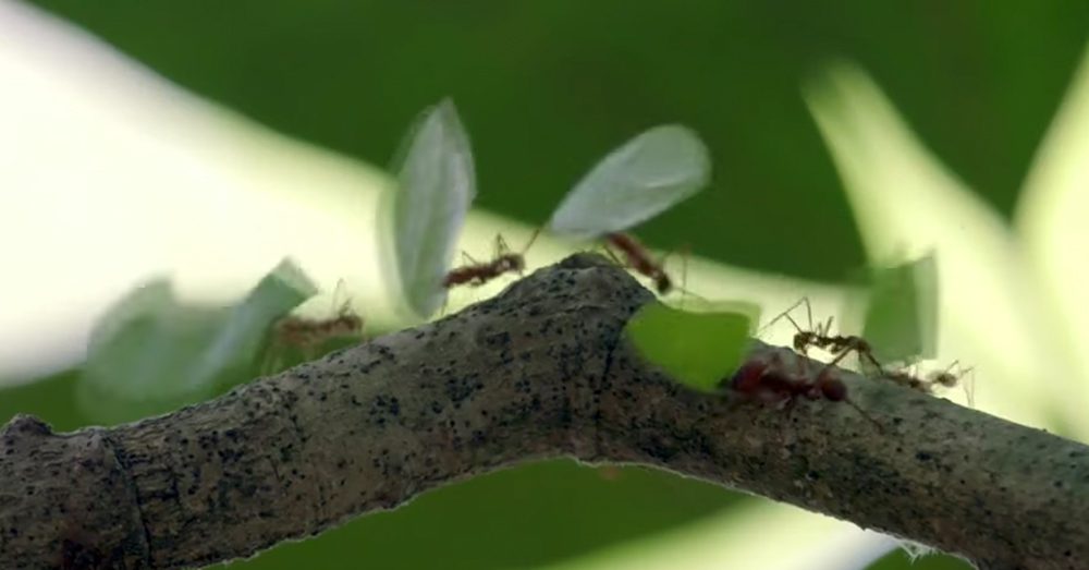 Source: YouTube/Smithsonian Channel Fastidious and incredible creatures, these ants.