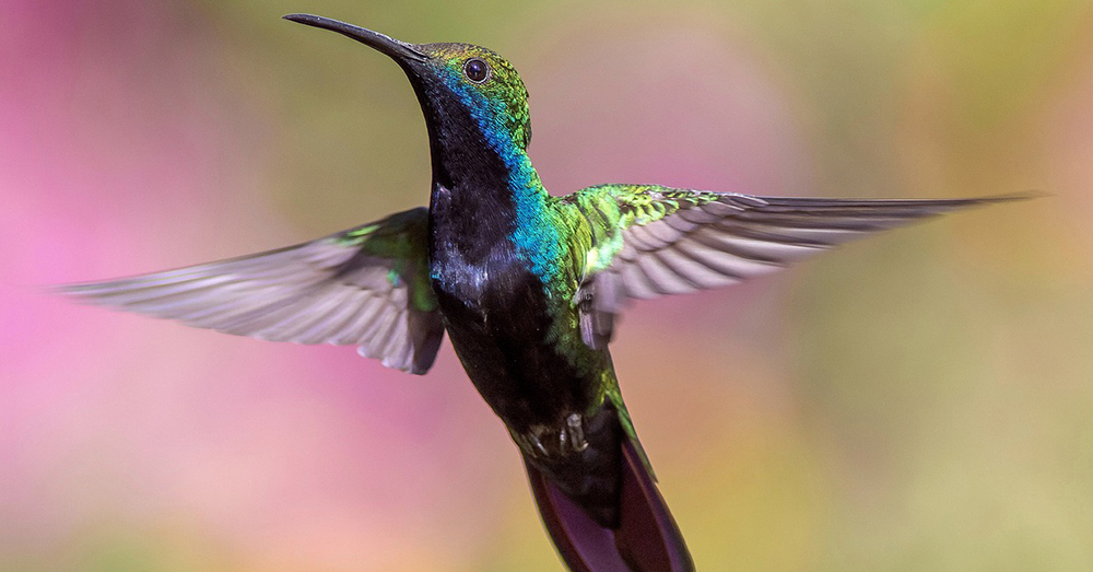 Source: Pixabay A hummingbird's heartrate can reach up to 1,260 beats per minute.
