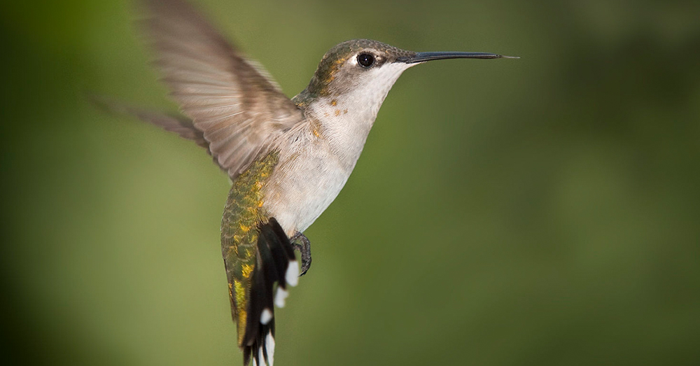 Source: Wikimedia Commons The hummingbird trade is prevalent throughout the southern United States.
