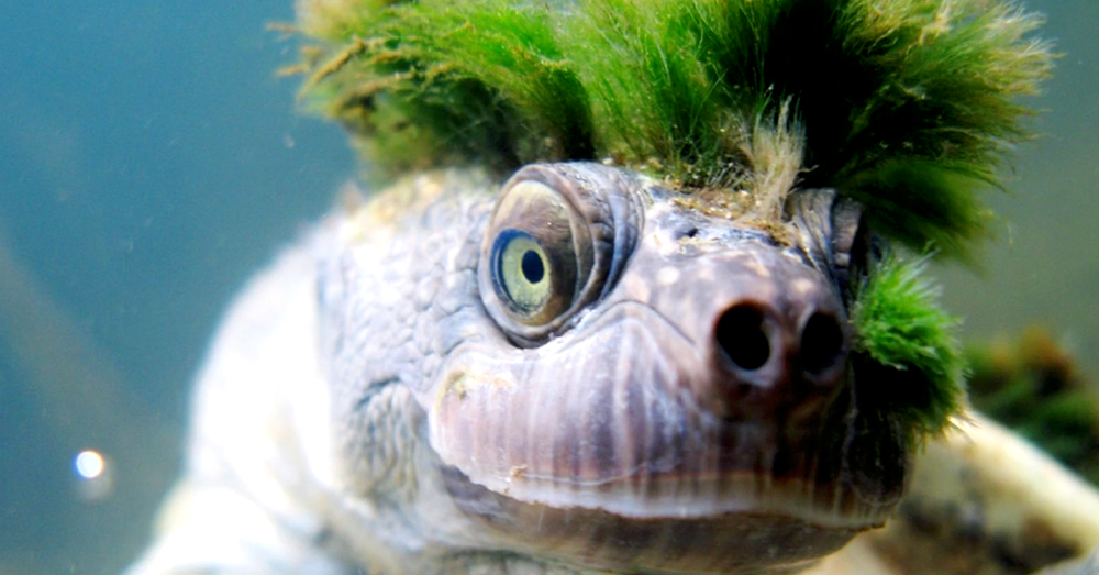 Source: YouTube/World News The Mary River Turtle.