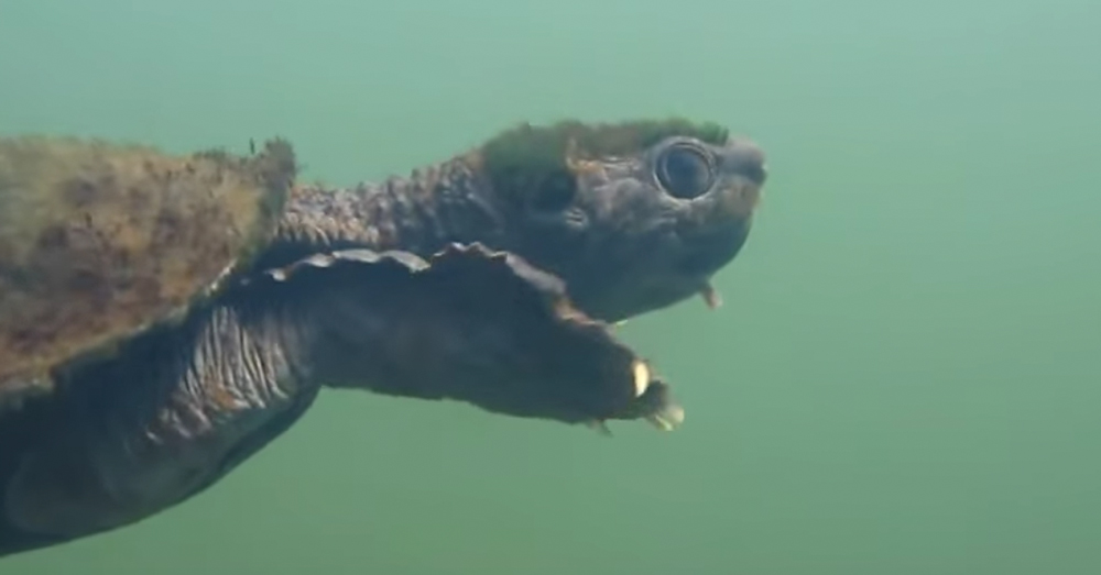 Source: YouTube/Australian Geographic The Mary River Turtle.