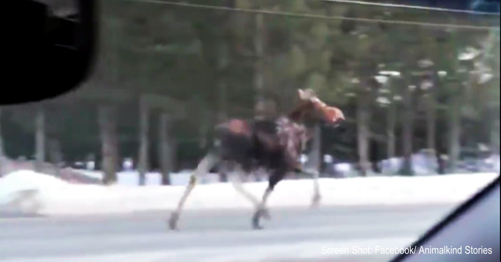 moose on road 1 rare moose sighting captured on video the animal rescue site blog