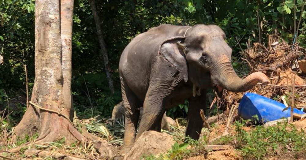 Source: Facebook/Phuket Elephant Sanctuary Phang Duan was first found tied to a tree.