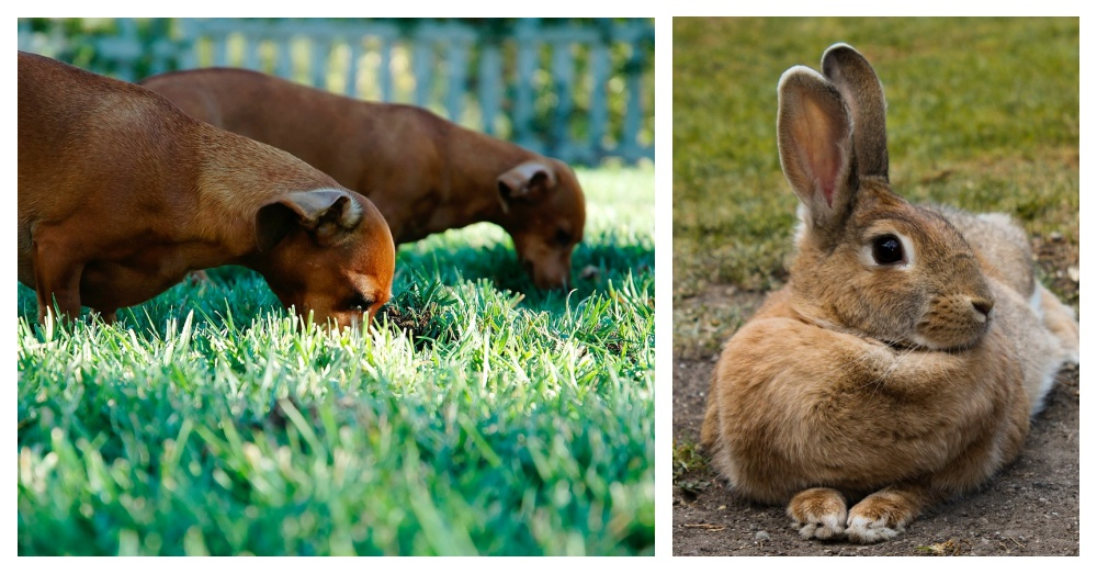 rabbit-poop-dogs-2
