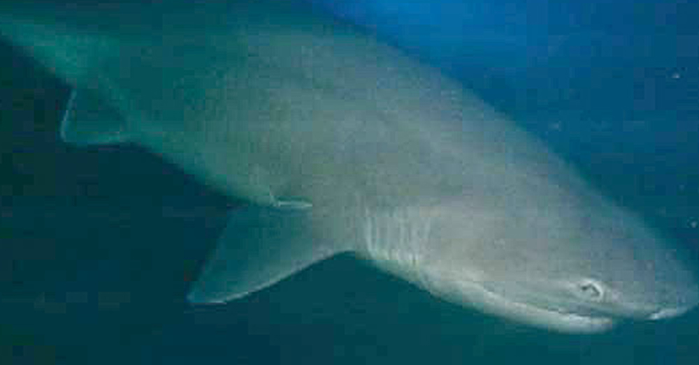 Source: Wikimedia Commons A sixgill shark.