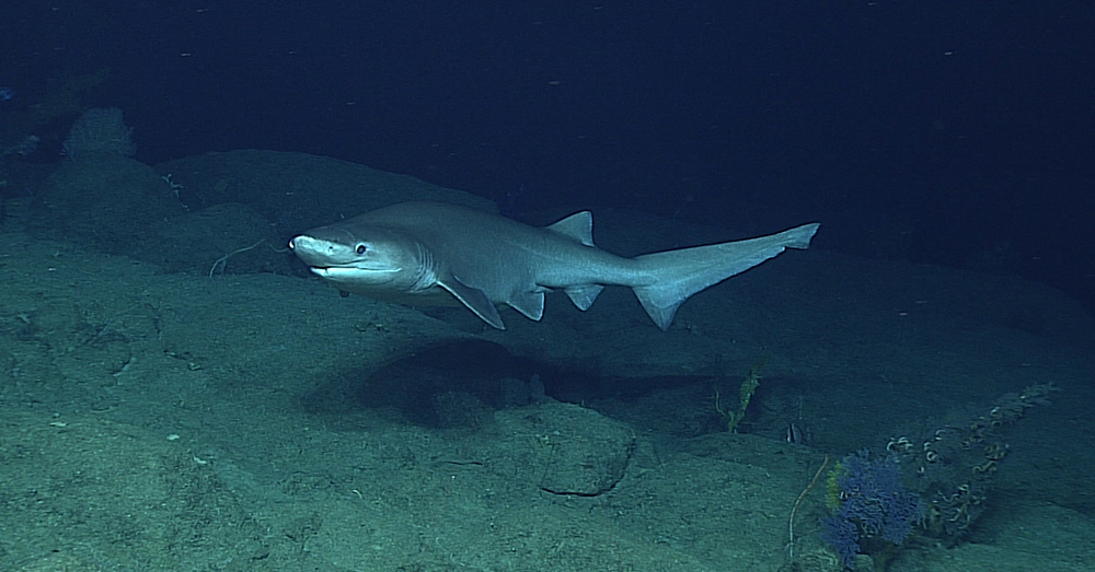 Source: Wikimedia Commons A bluntnose sixgill shark  swimming near the ocean floor.