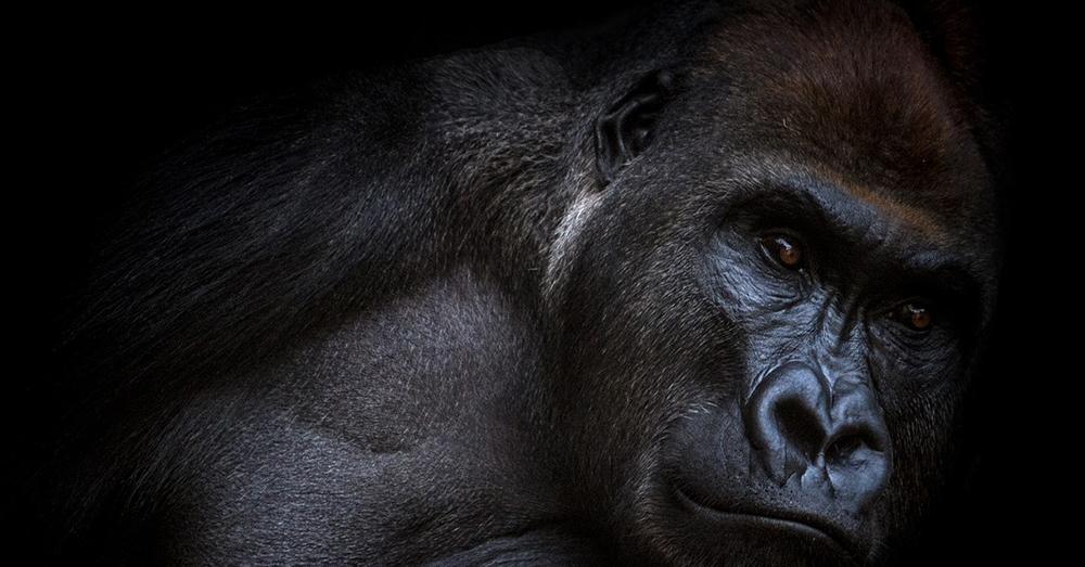 Source: Pixabay A lowalnd gorilla