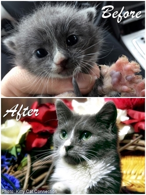 Monsoon as a tiny frightened kitten and all grown up and happy