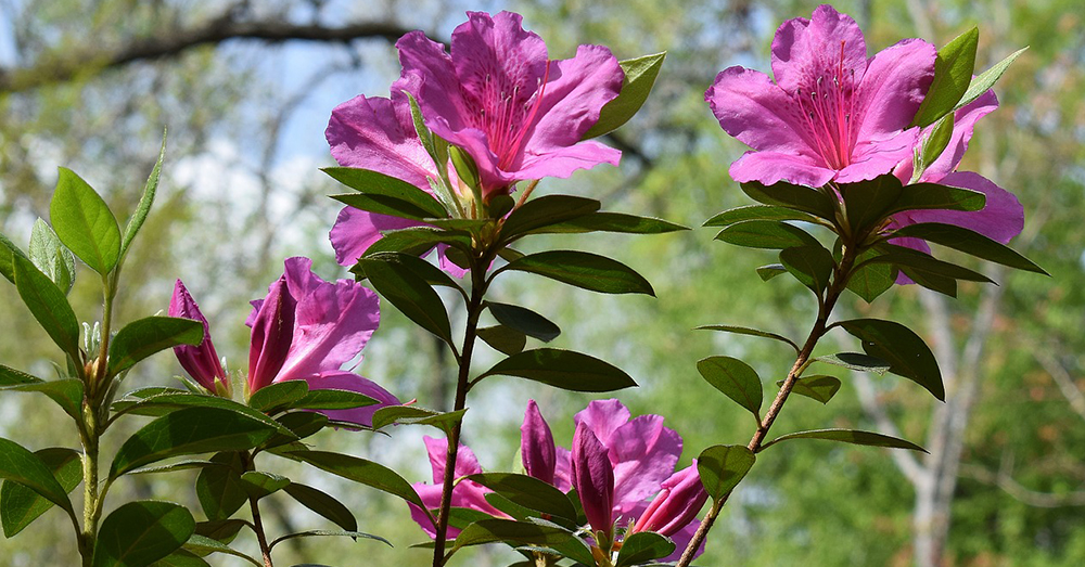 Source: Max Pixel Azaleas and Rhododendron flowers are toxic to animals.