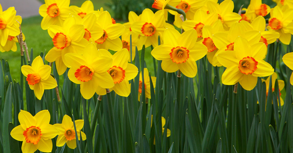 Source: Public Domain Pictures Daffodils are beautiful, but poisonous.