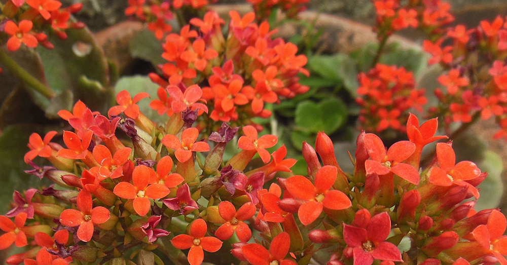 Source: Wikimedia Commons Kalanchoe is native to South Africa and Australia, but kept worldwide as a decorative plant.