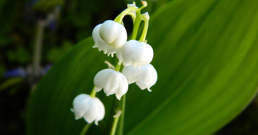 Source: Pixabay Lily of the Valley is extremely poisonous to animals and children.
